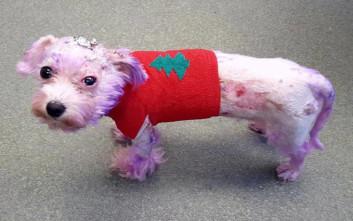 Έβαψε τη σκυλίτσα του… μοβ και λίγο έλειψε να πεθάνει