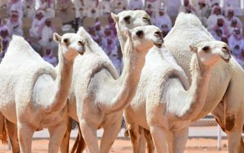 Καμήλες αποκλείονται από διαγωνισμό ομορφιάς γιατί είχαν κάνει… μπότοξ!