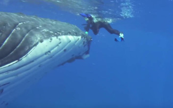 Φάλαινα προστάτευσε δύτη από τα δόντια καρχαρία