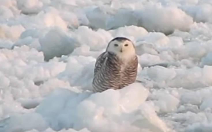 Η χαλαρή βόλτα της κουκουβάγιας πάνω στον πάγο
