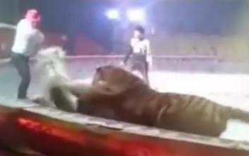 Λιοντάρι και τίγρης επιτέθηκαν σε άλογο σε τσίρκο στην Κίνα