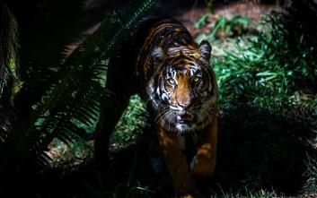 Τρομακτικό ατύχημα σε τσίρκο στη Γουατεμάλα, τίγρεις έκοψαν τα χέρια του φροντιστή τους
