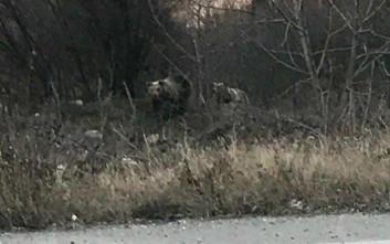 Ειδική επιχείρηση για δύο αρκουδάκια που βολτάρουν στην πόλη της Καστοριάς