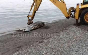 Νεκρό δελφίνι στα Καμένα Βούρλα Φθιώτιδας