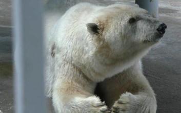 Πέθανε η Αμντέρμα, η γηραιότερη πολική αρκούδα της Ρωσίας