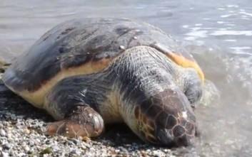 Νεκρή χελώνα καρέτα-καρέτα σε παραλία της Νέας Κίου