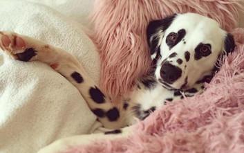 Σκυλός Δαλματίας έχει καρδιές γύρω από τα μάτια του