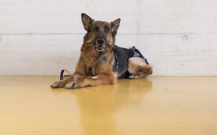 epa06560704 The German shepherd dog Rapunzel poses for the photographer in a veterinary hospital  in Zurich, Switzerland, 24 February 2018. Rapunzel was missing in August 2017 in Frankfurt and turned up six months later near Zurich after a 400 km journey.  EPA/ENNIO LEANZA