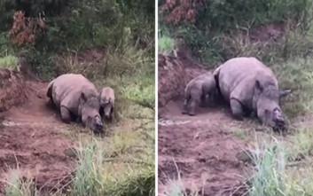 Μωρό ρινόκερος προσπαθεί να θηλάσει από τη νεκρή μητέρα του