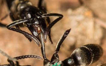Τα μυρμήγκια περιποιούνται τους τραυματίες τους