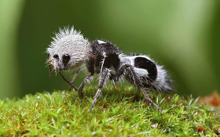 Γνωρίστε το μυρμήγκι που μοιάζει με πάντα αλλά είναι… σφήκα!