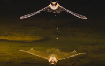 Οι νυχτερίδες που δεν γερνάνε ποτέ!