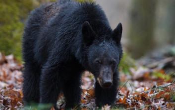 Φρικτός θάνατος για 11χρονο στη Ρωσία: Αρκούδες τον έσυραν στο κλουβί τους και τον κατασπάραξαν