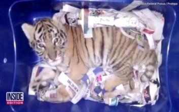 Επιχείρησαν να στείλουν μικρή τίγρη με το ταχυδρομείο