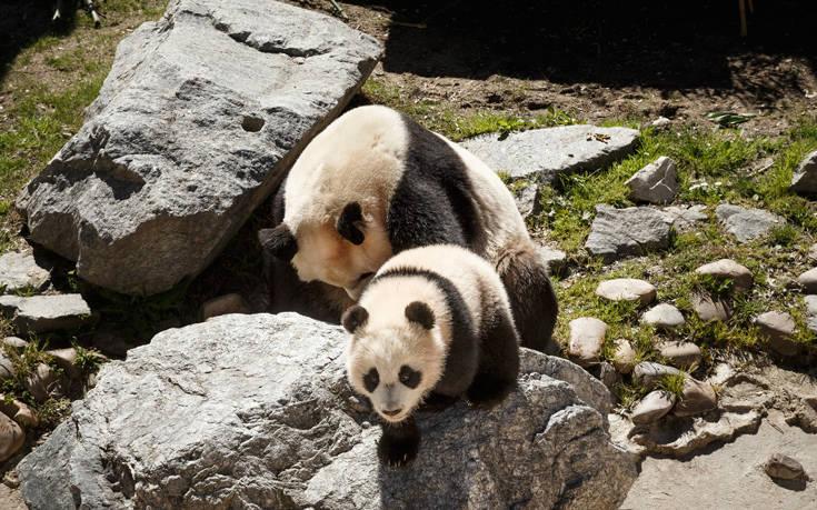 Καταγράφηκε ζευγάρι πάντα που ζει ελεύθερο σε φυσικό καταφύγιο στην Κίνα