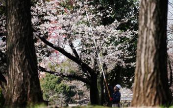 Τι απειλεί τις ανθισμένες κερασιές της Ιαπωνίας