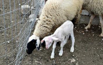Κτηνοτρόφος βρήκε κατασπαραγμένα πρόβατα στην Αργολίδα