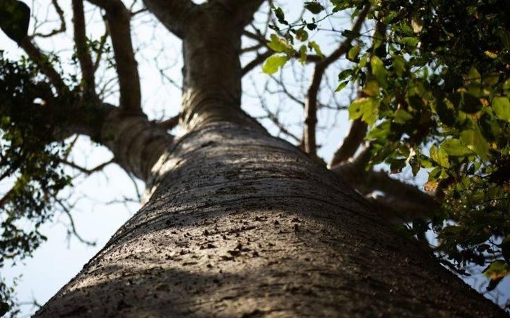 Το «μαγικό δέντρο» που προστατεύει τον πλανήτη