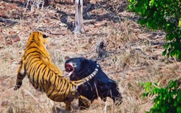Τίγρη εναντίον αρκούδας και… όποιος αντέξει