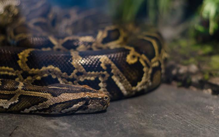 Το τεράστιο φίδι που έπεσε από τη σοφίτα τρομοκράτησε το ζευγάρι