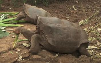 O Ντιέγκο η χελώνα έσωσε το είδος του όντας σεξουαλικά… υπερδραστήριος