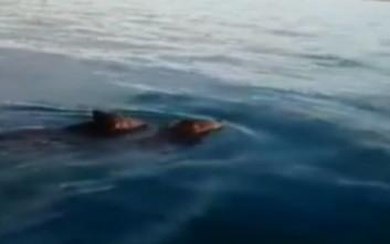 Πήγαν για συναγρίδες και είδαν δίπλα στη βάρκα δύο αγριογούρουνα... κολυμβητές