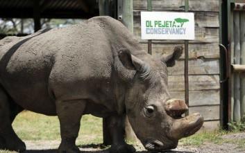 Πέθανε ο τελευταίος αρσενικός βόρειος λευκός ρινόκερος