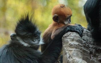 Μετακινούνται κάτοικοι στην Κίνα για να προστατευτεί σπάνιος πίθηκος