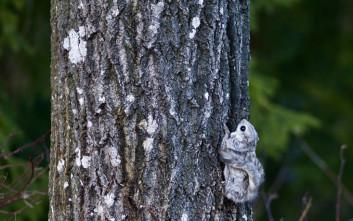 Ο ιπτάμενος σκίουρος της Σιβηρίας είναι ό,τι απολαυστικότερο στο ζωικό βασίλειο!