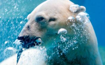 Ο Inuka ήταν η πρώτη πολική αρκούδα που γεννήθηκε και μεγάλωσε σε τροπική χώρα
