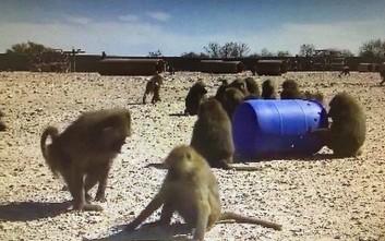 Το σχέδιο απόδρασης τεσσάρων μπαμπουίνων στο Τέξας