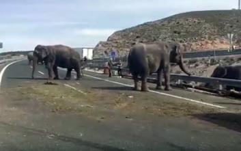 Χάος με ελέφαντες σε αυτοκινητόδρομο στην Ισπανία, ανετράπη φορτηγό τσίρκου