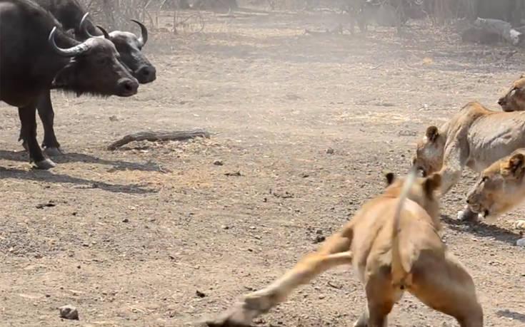 Βούβαλοι αντεπιτίθενται σε λιοντάρια, μια μάχη επική!