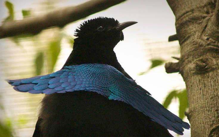 μαύρο κόκορας τέρατα