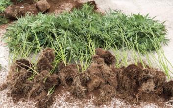 Συλλήψεις για καλλιέργειες κάνναβης σε Βέροια, Σέρρες και Πέλλα