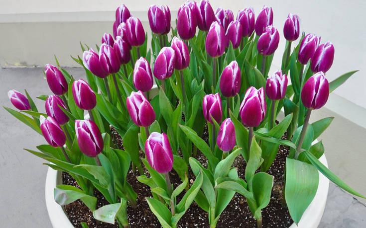 Οκτώ λουλούδια που μπορείς να φυτέψεις σε γλάστρες στο μπαλκόνι σου