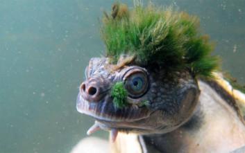 Η χελώνα-πανκιό που αναπνέει… από τα γεννητικά της όργανα