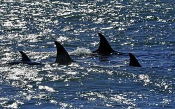 Ψαράδες από την Ιαπωνία σκότωσαν 122 φάλαινες που κυοφορούσαν
