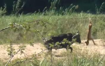 Βουβάλι στέλνει ιπτάμενο ένα λιοντάρι για τα μάτια… μιας σαύρας