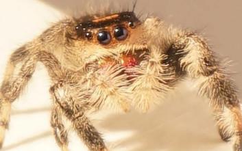Επιστήμονες κατέγραψαν και ανέλυσαν το εκπληκτικό άλμα της αράχνης-κυνηγού