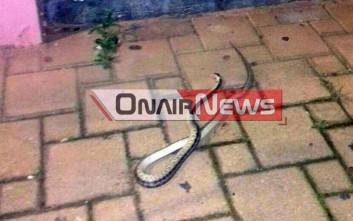 Φίδι έσπειρε τον τρόμο στο Μεσολόγγι