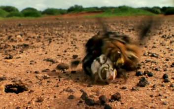 Μέλισσες παλεύουν μέχρι θανάτου πάνω στη φρενίτιδα του ζευγαρώματος