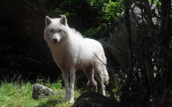 Αγέλη έξι λύκων από την Ιταλία στο καταφύγιο του Αρκτούρου