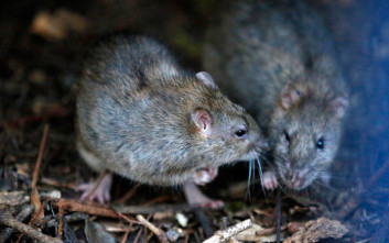 Στα ποντίκια αρέσει το κρυφτό