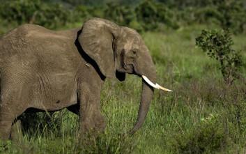 Η χώρα που λέει «ναι» στη σφαγή ελεφάντων και τη διάθεση του κρέατός τους για ζωοτροφή