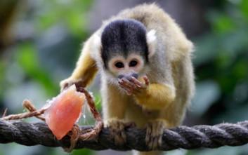 Αφρικανικές μαϊμούδες είχαν πάει στη Νότια Αμερική πάνω από μια φορά πριν 34 εκατ. χρόνια