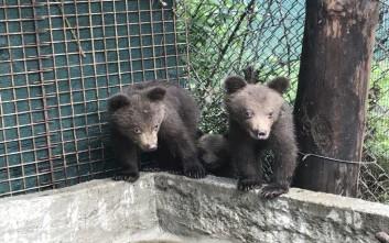 Στην αγκαλιά του Αρκτούρου τρία ορφανά αρκουδάκια από τη Βουλγαρία