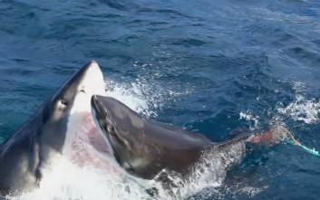 Καρχαρίας εναντίον καρχαρία γιατί η φύση είναι ανηλεής!