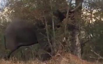 Ελέφαντας ρίχνει δέντρο σε δευτερόλεπτα