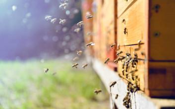 Οι μέλισσες-δολοφόνοι που φτιάχτηκαν από ένα επιστημονικό πείραμα που πήγε στραβά